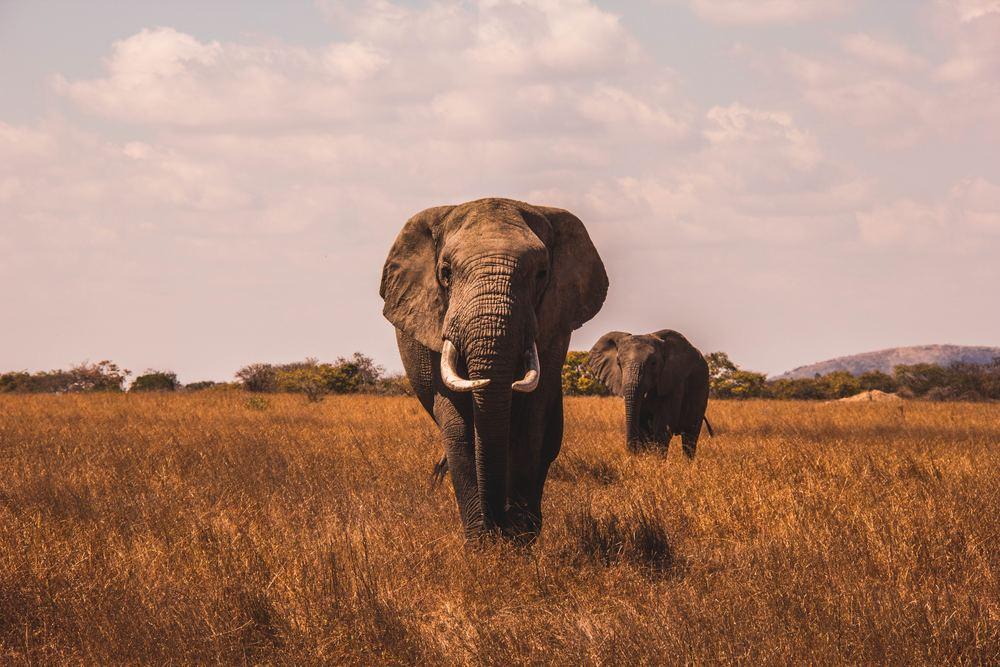 Drømmer du om vilde dyr og naturlige brøl?